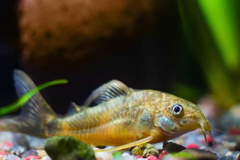 fish-at-the bottom-of-tank-cause-of-new-tank-syndrome