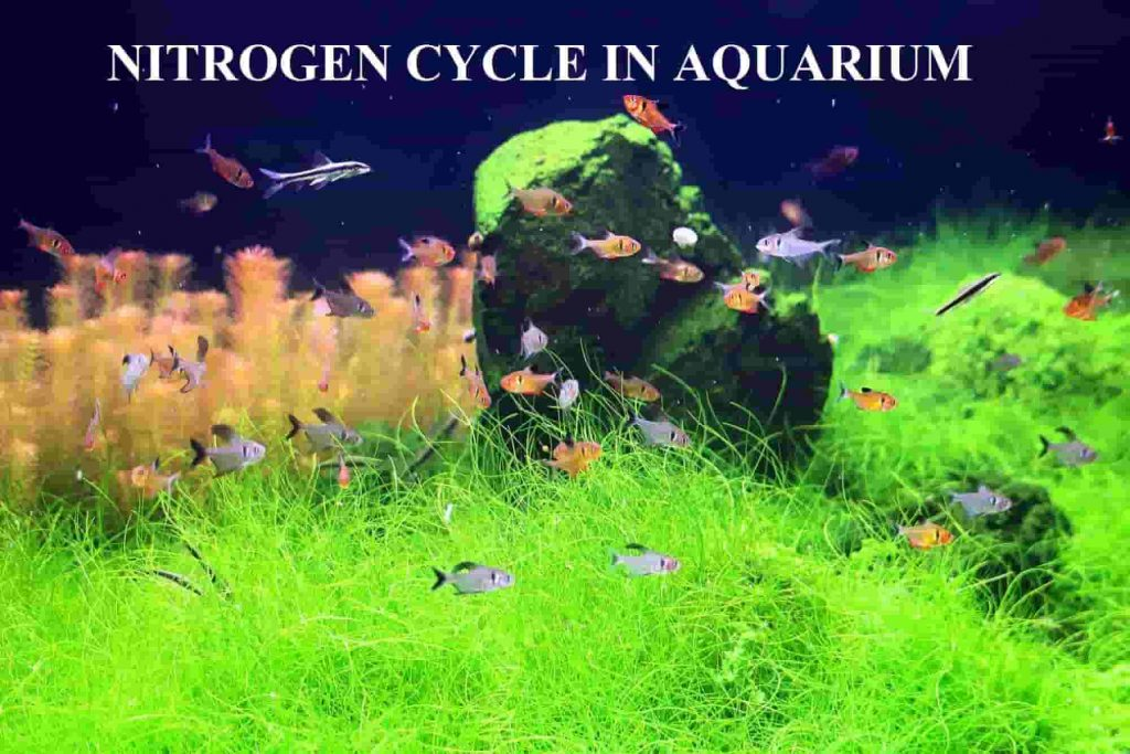 nitrogen-cycle-in-aquarium