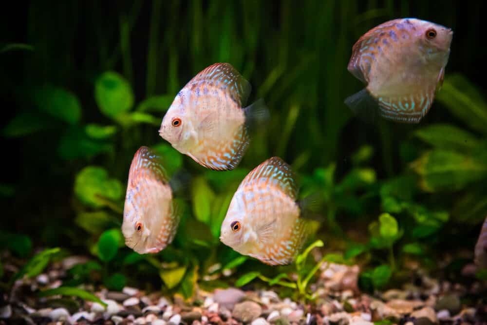 fish-suffer-from-nitrate-in-aquarium