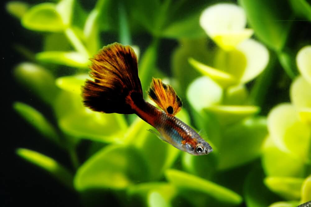 guppy-fish-thrives-in-hard-water-aquarium