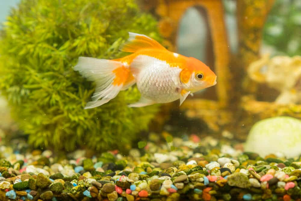 cloudy-goldfish-tank