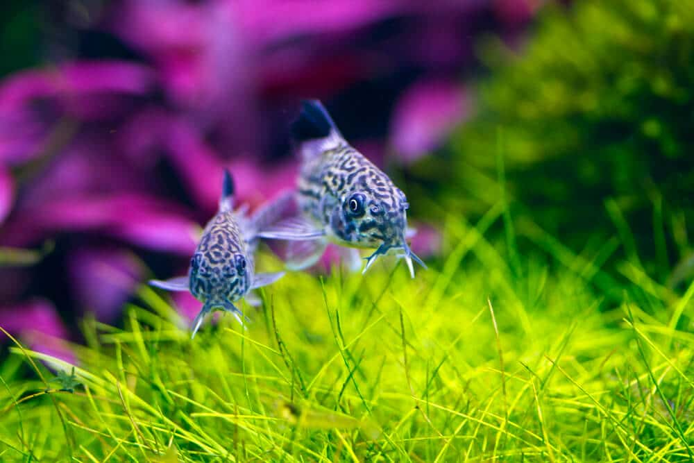 fish-swiming-in-freshwater-aquarium