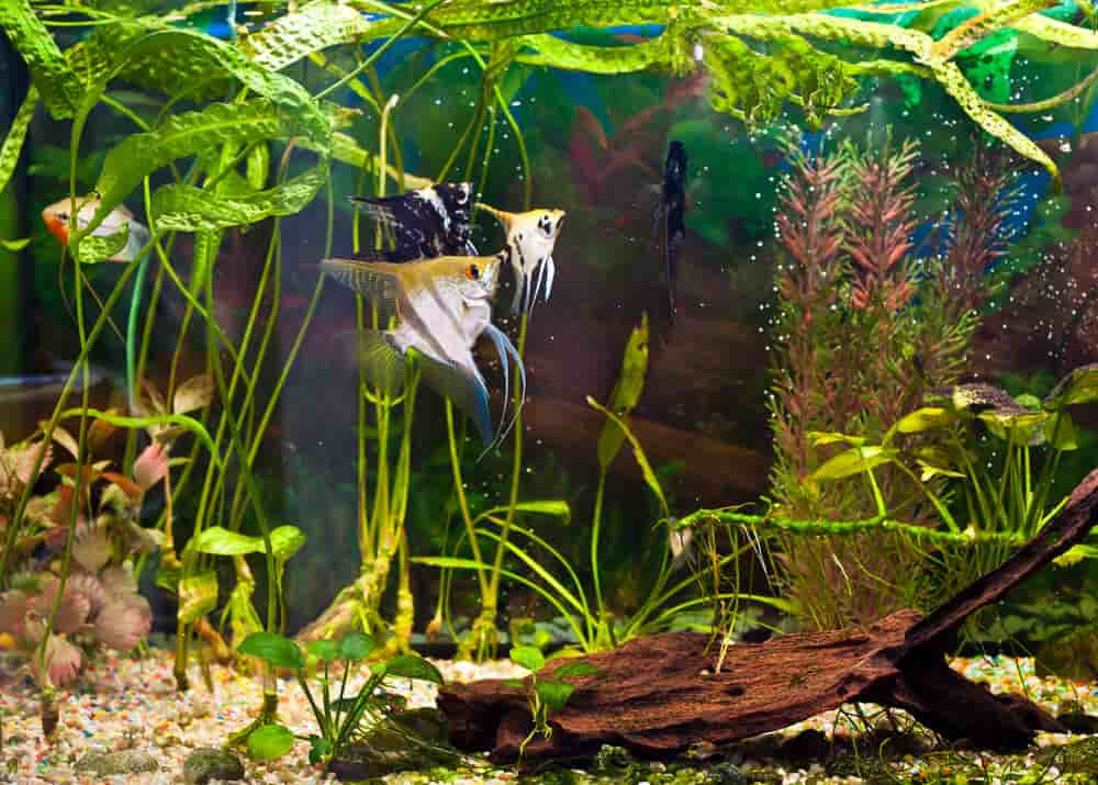angelfish-swimming-in-small-tank-using-internal-filter
