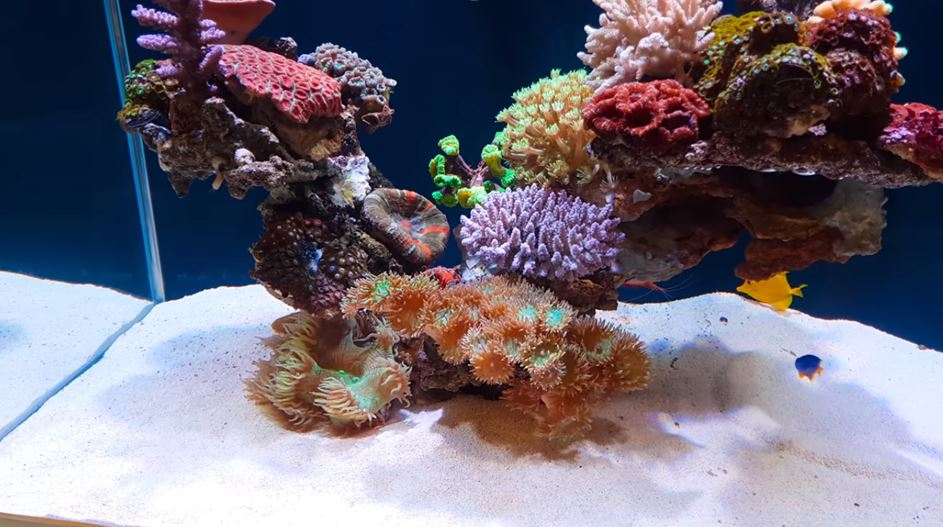 coral-in-reef-tank