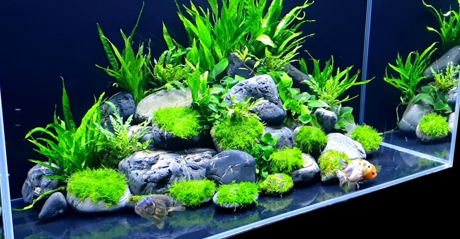 cold-water-plant-in-gold-fish-tank