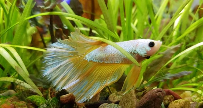 betta-fish-hiding