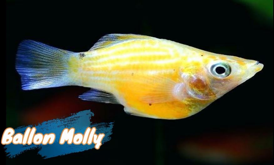 balloon-molly-fish