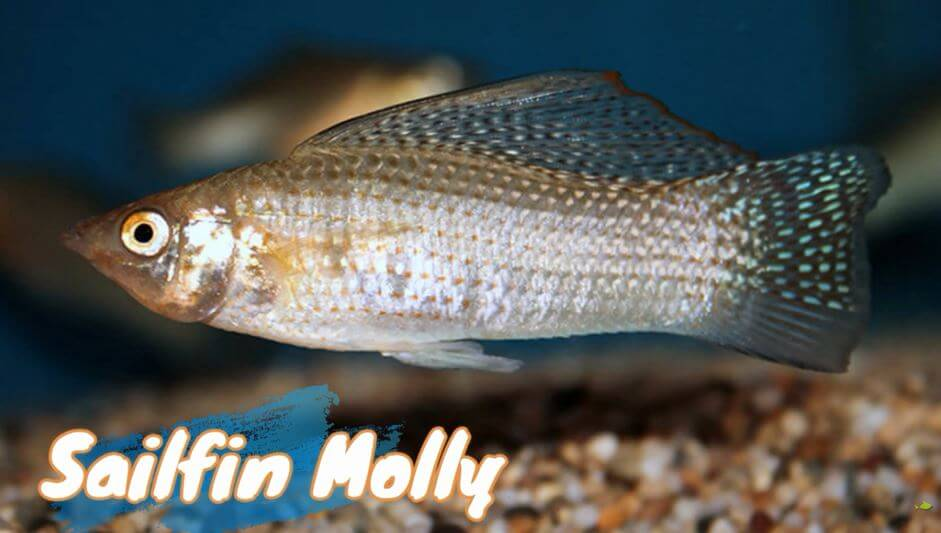 sailfin-molly-fish