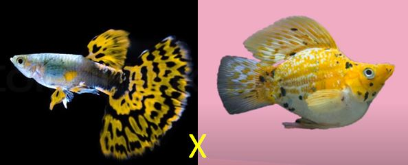 Guppy Molly Hybrid Is It Possible Aquaria Passion